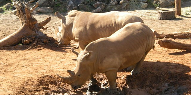 White_Rhino_Brevard_Zoo_01